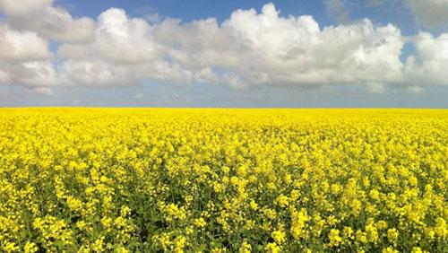 canola oil crops Australia